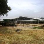 Besichtigung des Kibbuzes Nitzanim. Stallung für 300 Milchkühe.